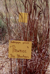 Pawnee - Big Bluestem