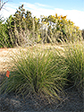 Dropseed - Giant Sacaton Grass