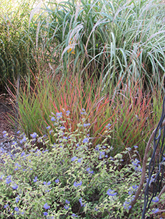 Field grown ornamental grasses kansas ornamental grasses for sale since 1997 and located in north central kansas grassland gardens has been an ornamental grass nursery over 60 varieties of ornamental grasses are workwithnaturefo
