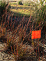 Big Bluestem - Red October